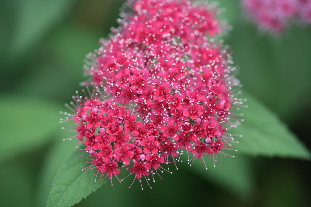 Double Play Red Flower Closeup Jpg