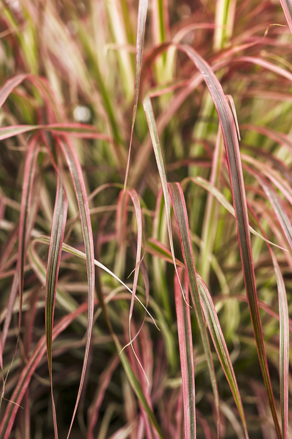 Graceful grasses 39 fireworks 39 variegated red fountain for Variegated grass plant