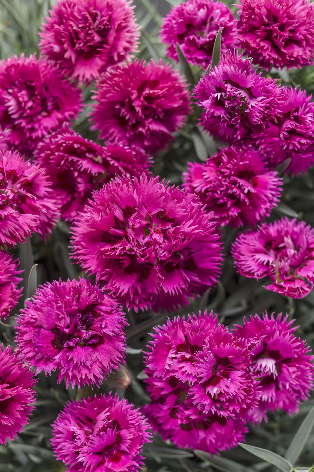 Fruit punch spiked punch pinks dianthus hybrid proven winners fruitpunchspikedcherryg mightylinksfo Image collections