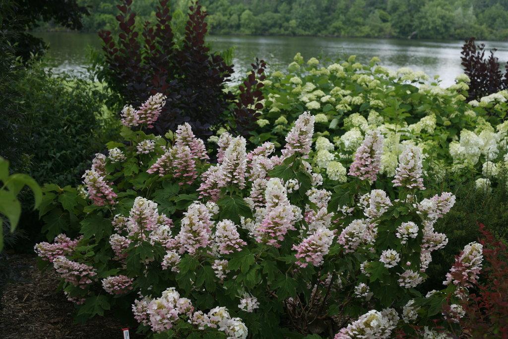 Gatsby pink oakleaf hydrangea hydrangea quercifolia for Ortensia quercifolia