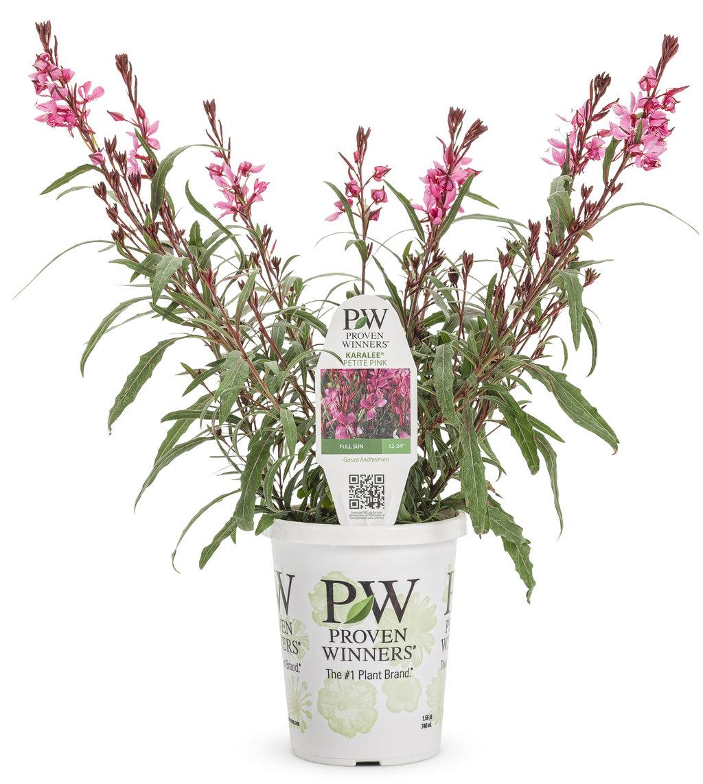 Karalee petite pink wand flower gaura lindheimeri proven winners gaurakaraleepetitepinkgrandeg mightylinksfo