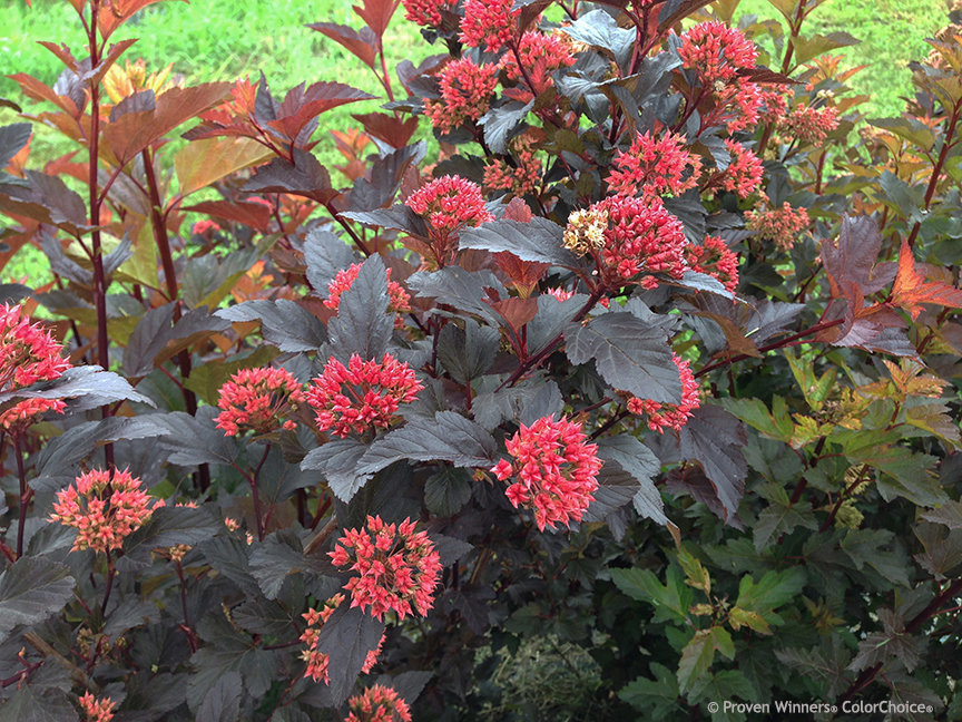 ginger wine ninebark physocarpus opulifolius proven. Black Bedroom Furniture Sets. Home Design Ideas