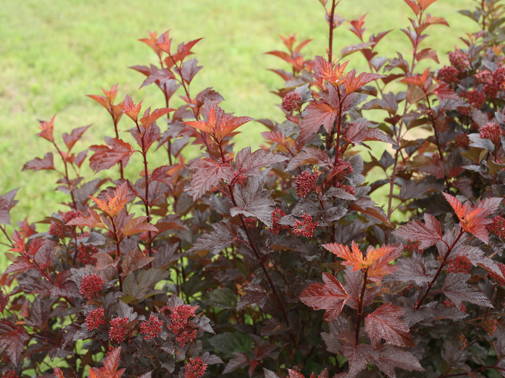 Image Result For Best Shrubs For Privacy
