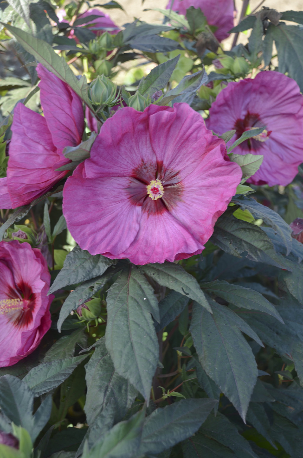 summerific 39 berry awesome 39 rose mallow hibiscus. Black Bedroom Furniture Sets. Home Design Ideas