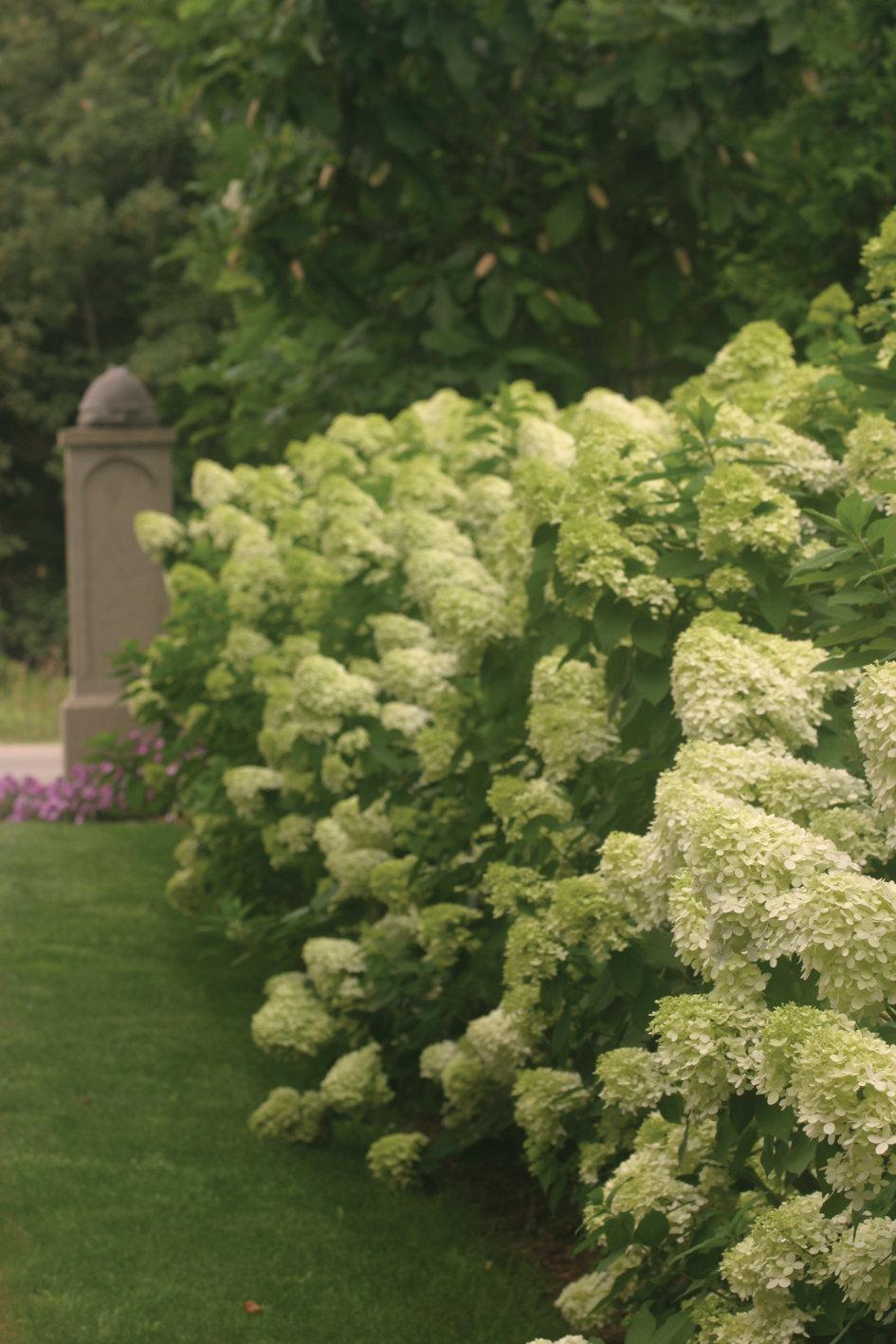 39 limelight 39 panicle hydrangea hydrangea paniculata proven winners. Black Bedroom Furniture Sets. Home Design Ideas