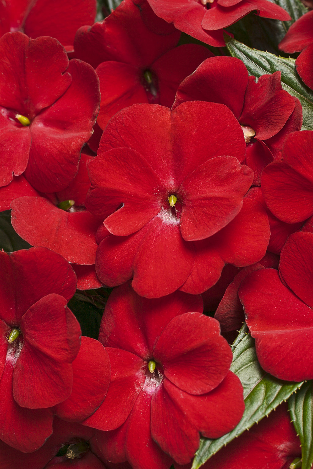 Infinity red new guinea impatiens impatiens hawkeri for New guinea impatiens
