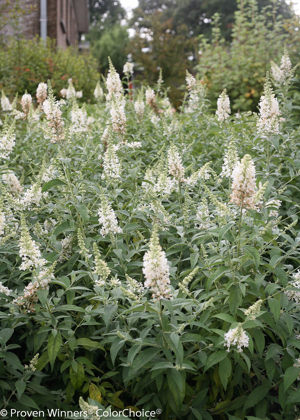 Inspired White Butterfly Bush Buddleia X Proven Winners