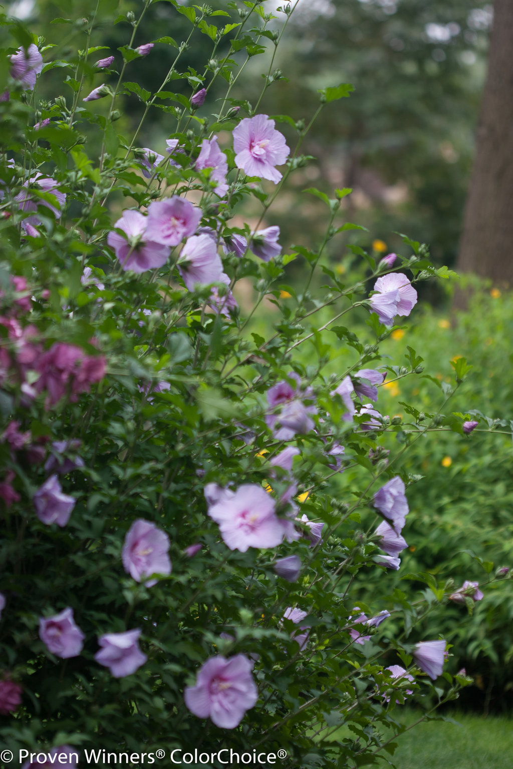 Lavender Chiffon 174 Hibiscus Syriacus Proven Winners