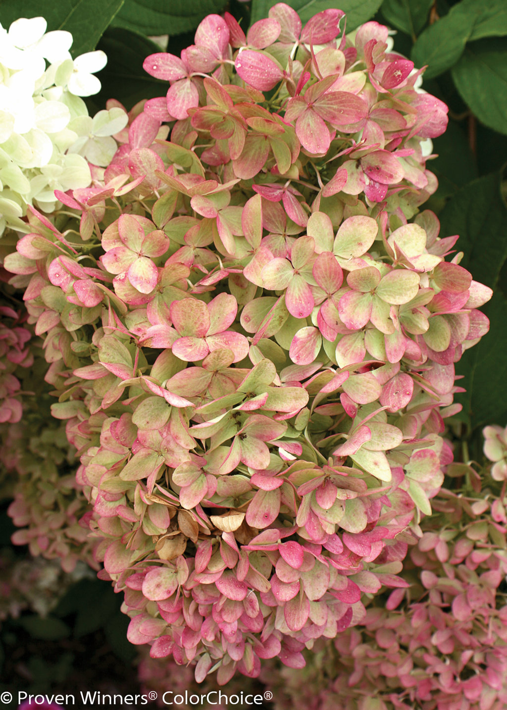 39 limelight 39 panicle hydrangea hydrangea paniculata images proven winners. Black Bedroom Furniture Sets. Home Design Ideas