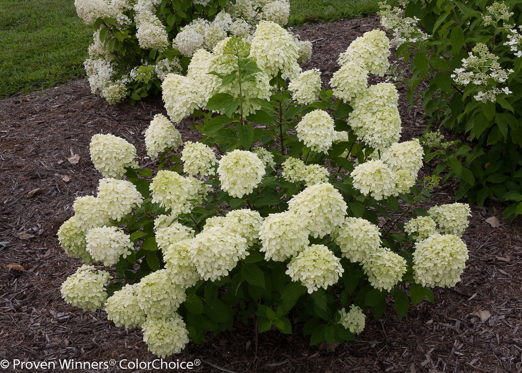 little lime panicle hydrangea hydrangea paniculata proven winners. Black Bedroom Furniture Sets. Home Design Ideas