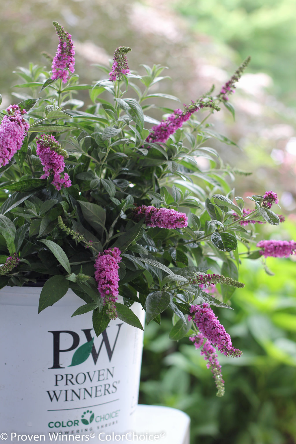 lo behold 174 pink micro chip butterfly bush buddleia x proven winners