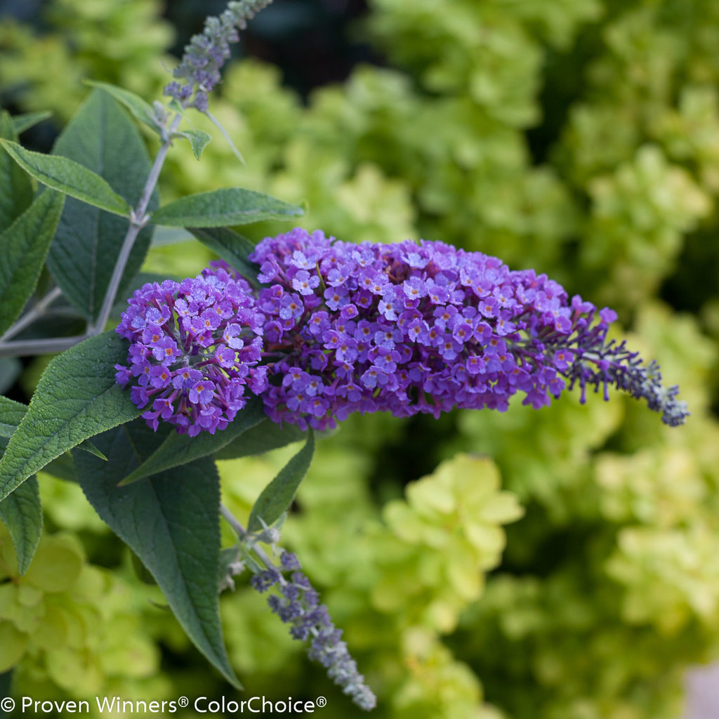 Lo Amp Behold 174 Purple Haze Butterfly Bush Buddleia X