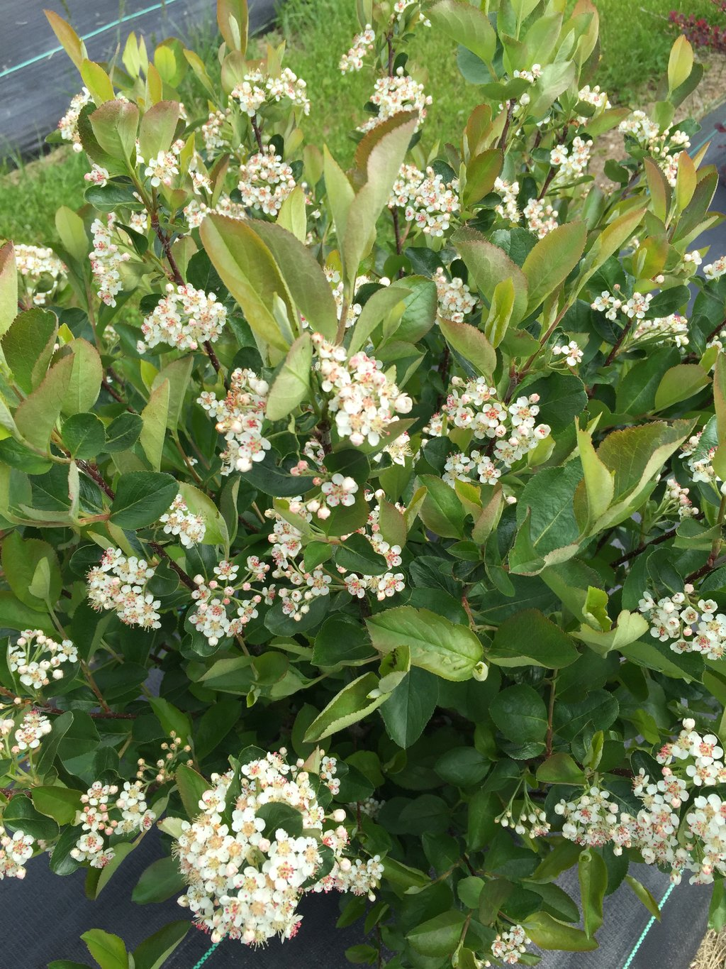 Low Scape® Hedger - Aronia melanocarpa | Proven Winners