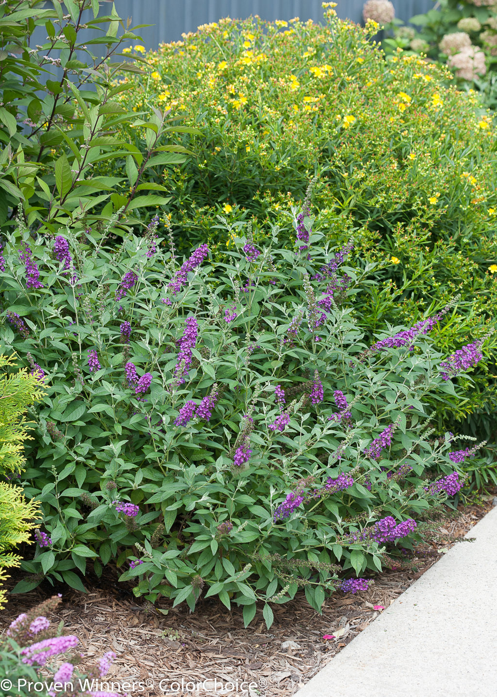 Miss Violet Butterfly Bush Buddleia X Proven Winners