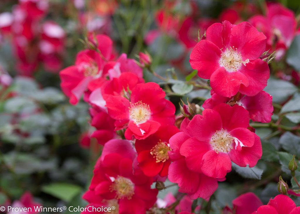 Rose: Oso Easy® Cherry Pie - Landscape Rose - Rosa X