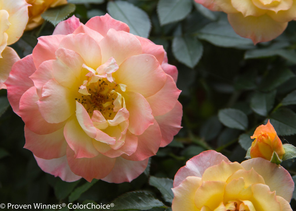 Rosé: Oso Easy® Italian Ice® - Landscape Rose - Rosa X