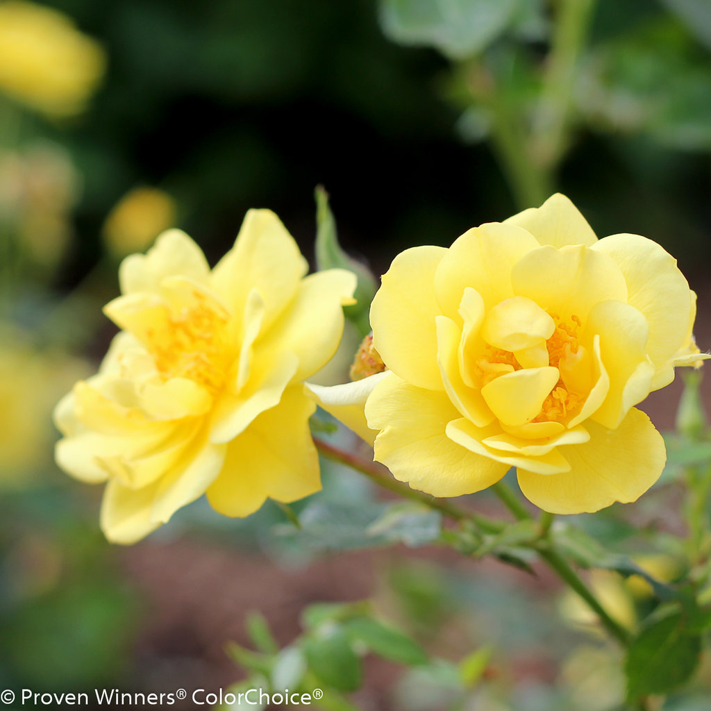 oso easy® lemon zest - landscape rose - rosa x | proven winners