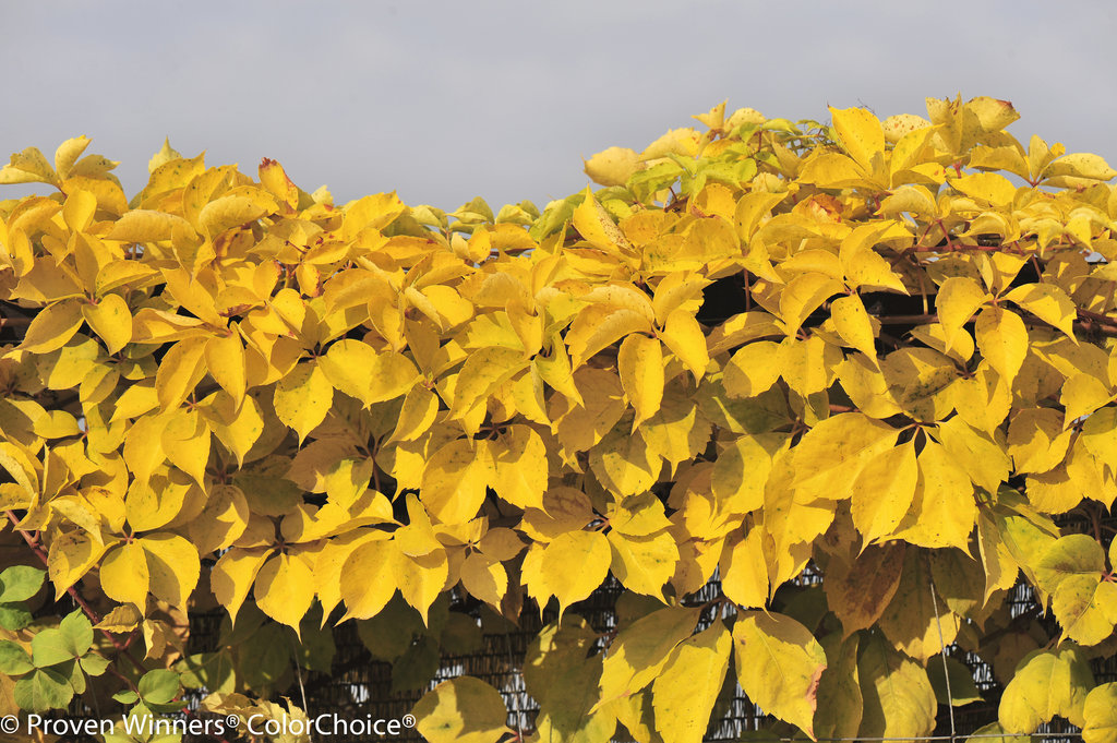 Yellow Wall Virginia Creeper Parthenocissus
