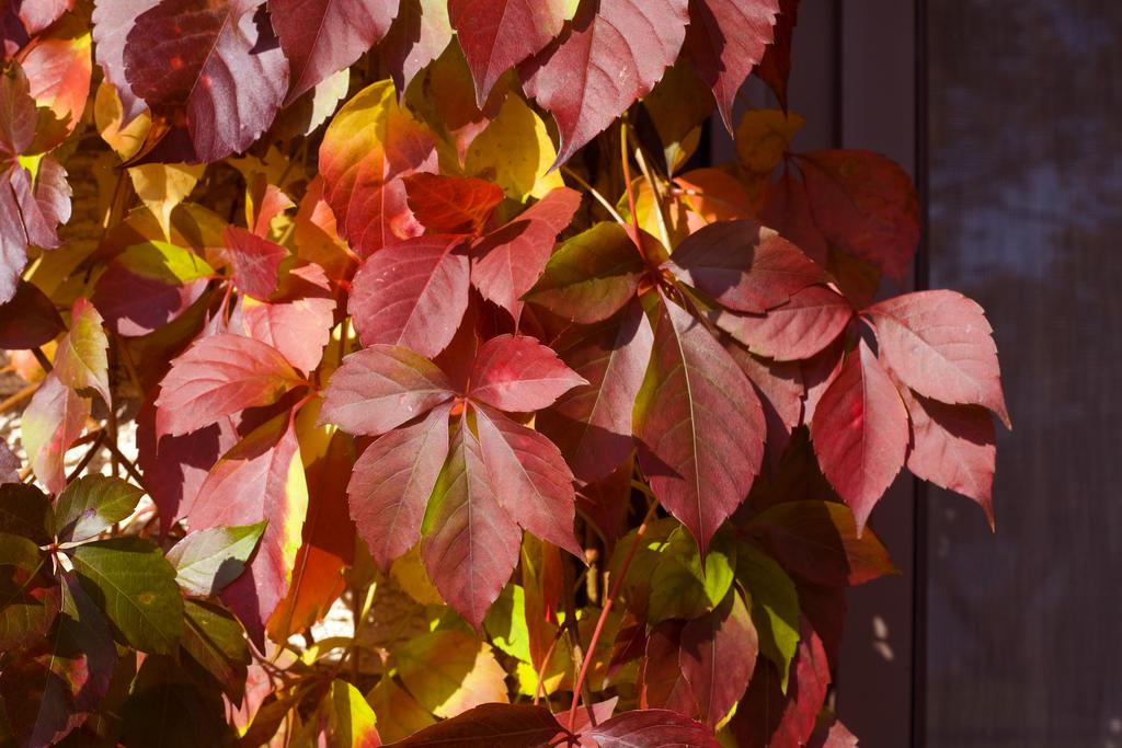 Red Wall 174 Virginia Creeper Parthenocissus Quinquefolia