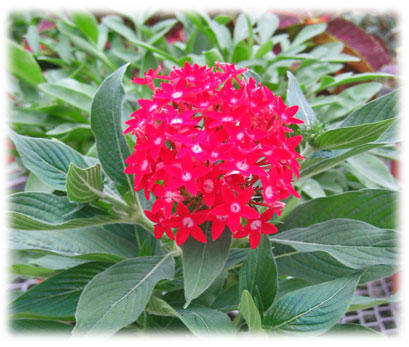 Butterfly Red - Pentas lanceolata | Proven Winners