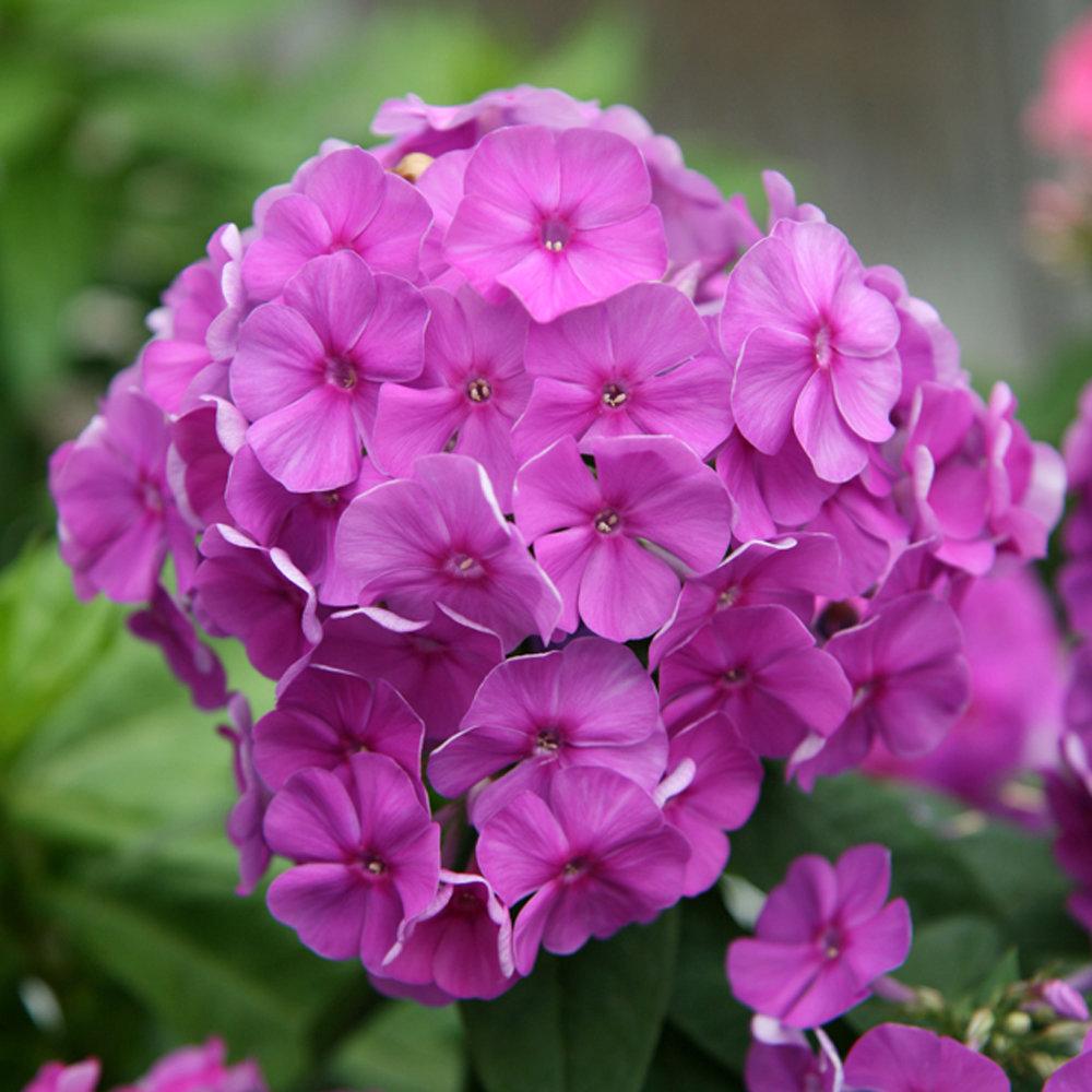 Flame Purple Dwarf Garden Phlox Phlox Paniculata
