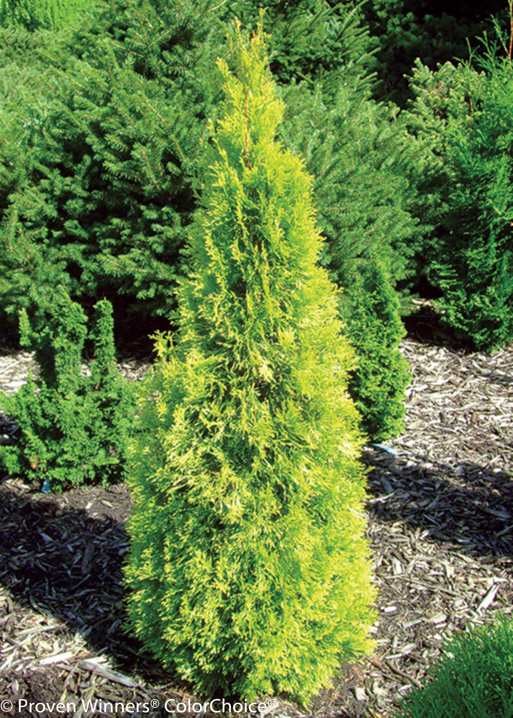 polar gold arborvitae thuja occidentalis proven winners. Black Bedroom Furniture Sets. Home Design Ideas