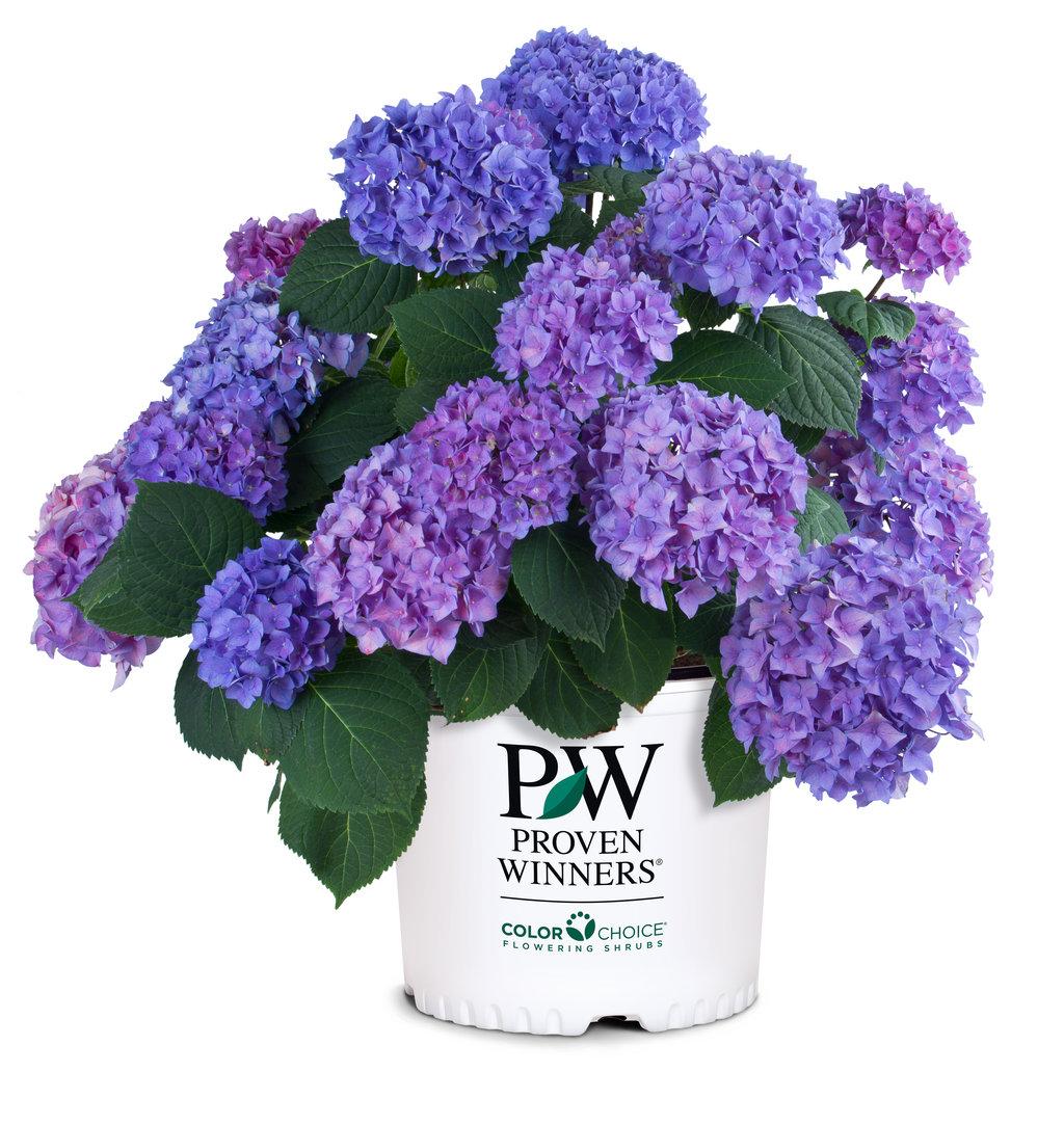 let's dance® rhythmic blue™  reblooming hydrangea  hydrangea, Beautiful flower
