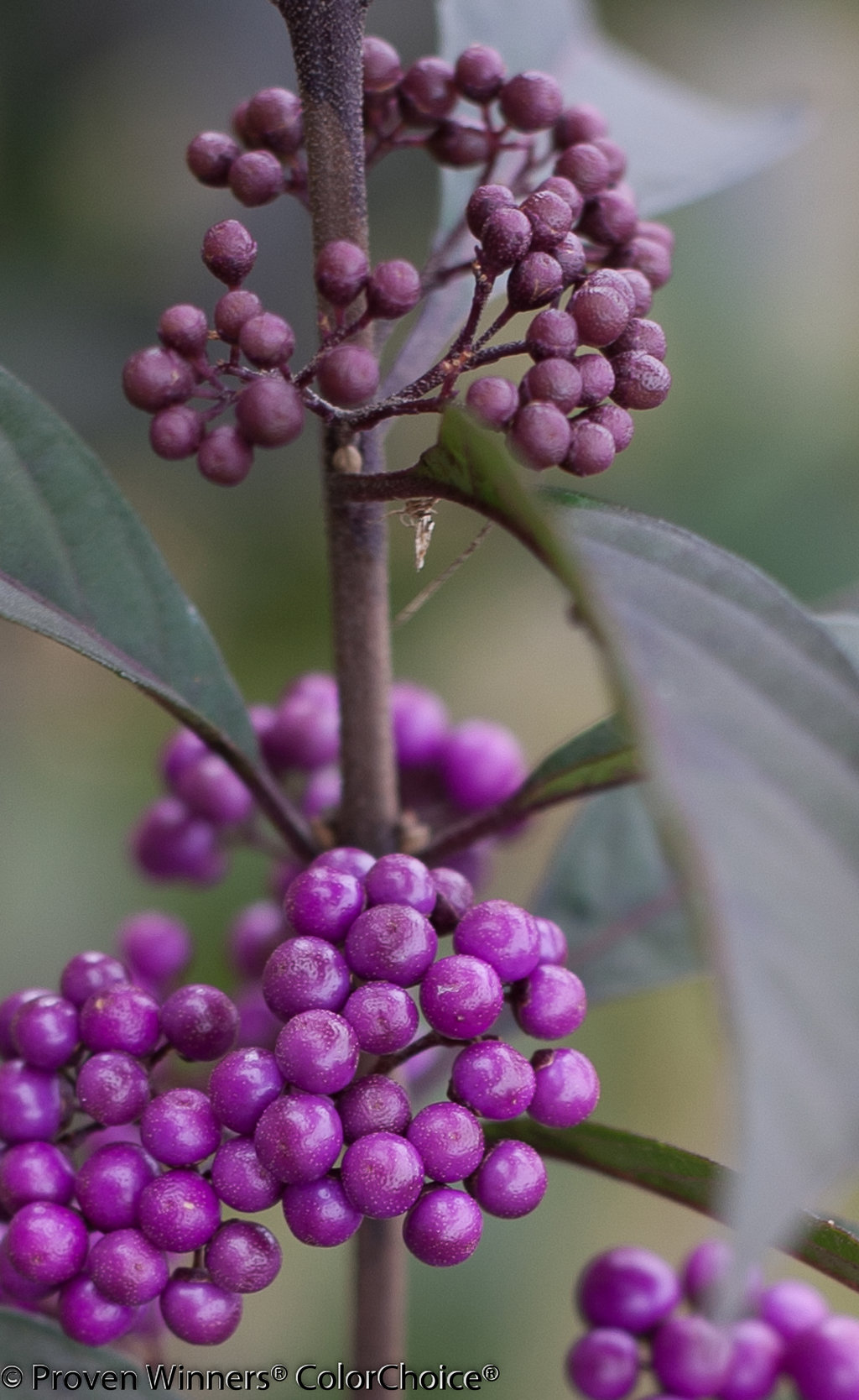 buy pearls shrubs beautyberry online purple ione callicarpa