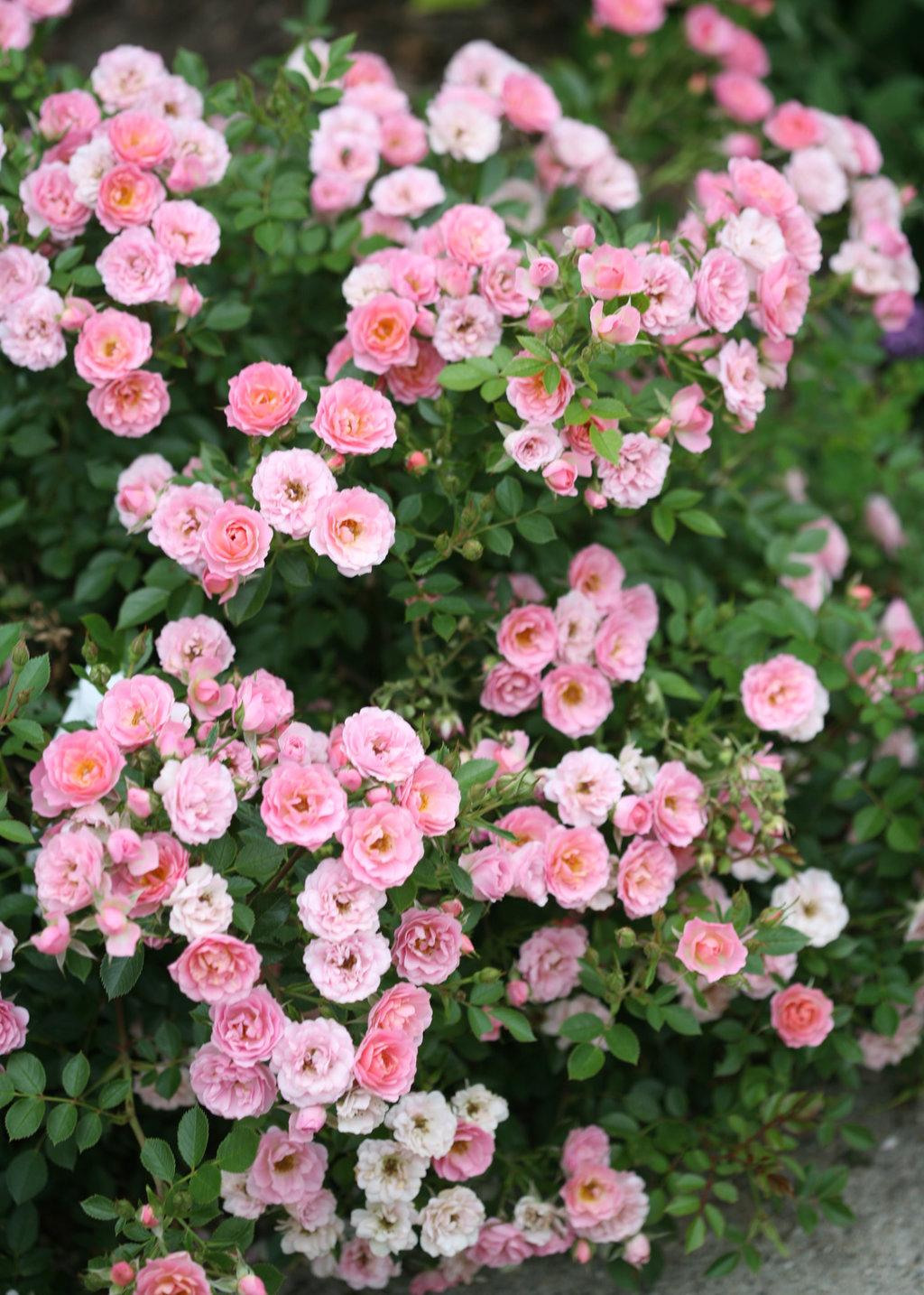 Oso easy petit pink landscape rose rosa x proven winners rosaosohappypetitpinkimg7203g mightylinksfo Images