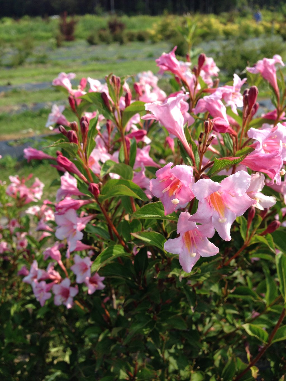 Sonic Bloom 174 Pure Pink Weigela Florida Proven Winners