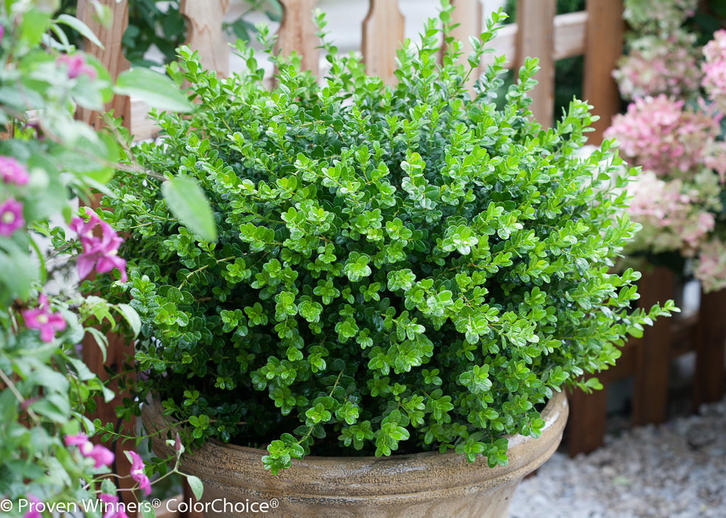 Sprinter 174 Boxwood Buxus Microphylla Proven Winners