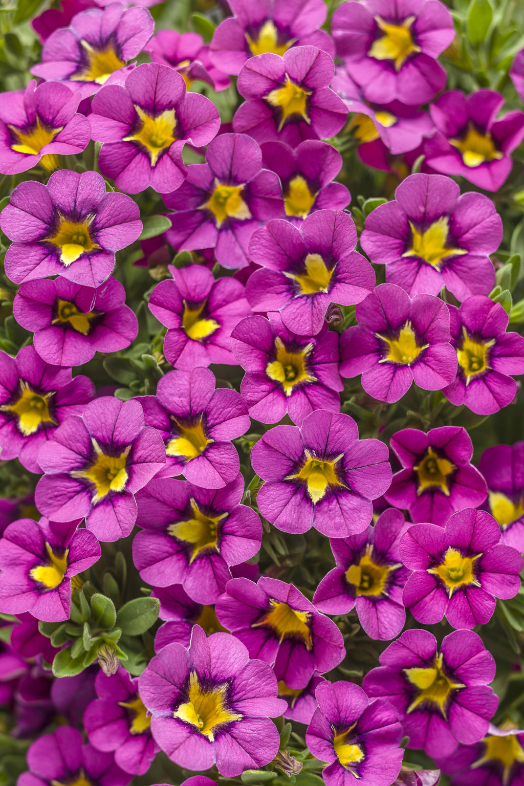 Superbells hollywood star calibrachoa hybrid proven - Calibrachoa superbells ...