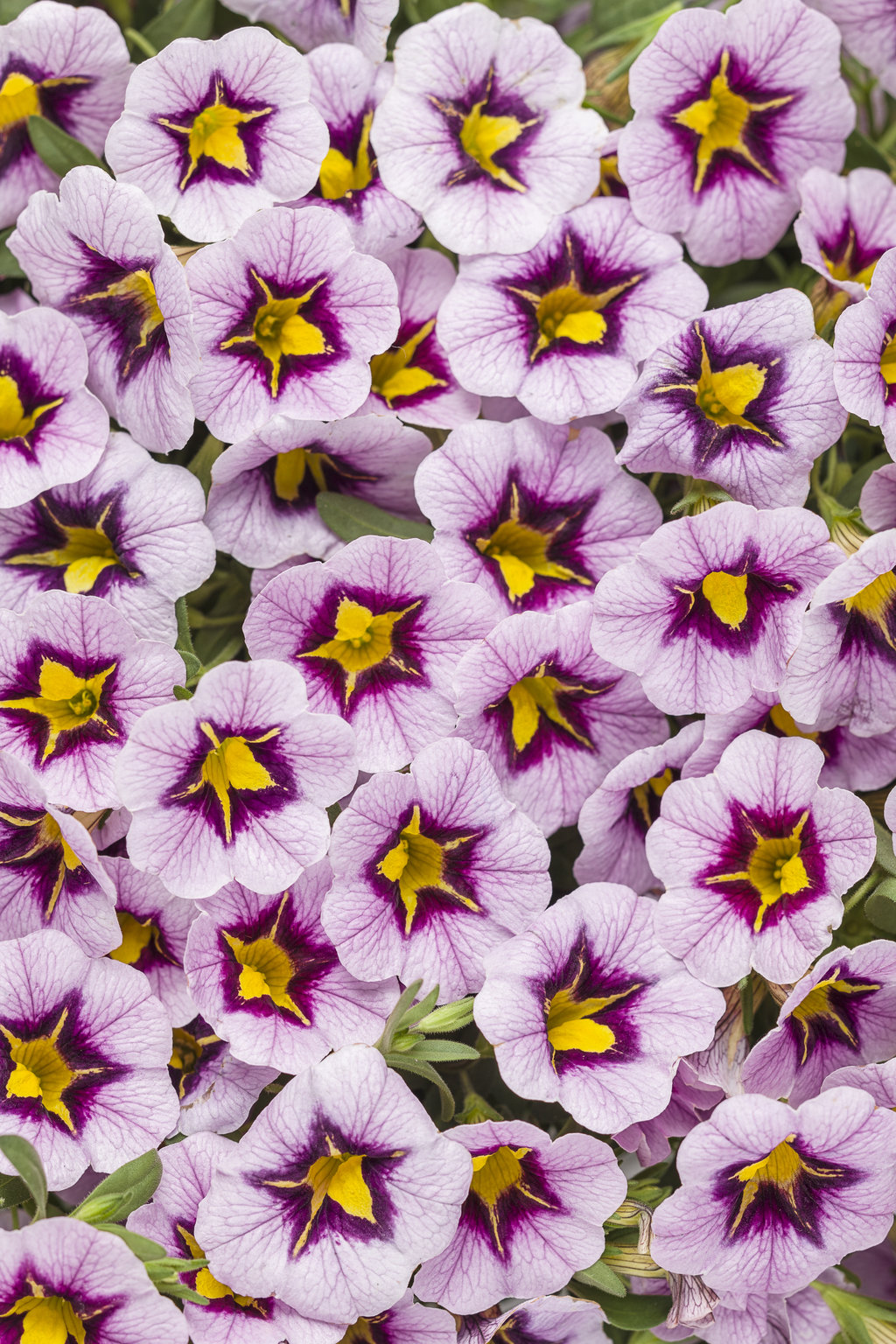 Superbells morning star calibrachoa hybrid proven - Calibrachoa superbells ...