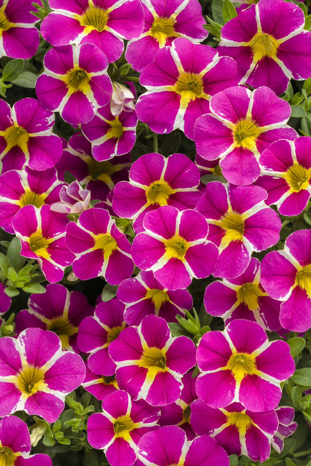 Superbells rising star calibrachoa hybrid proven winners - Calibrachoa superbells ...