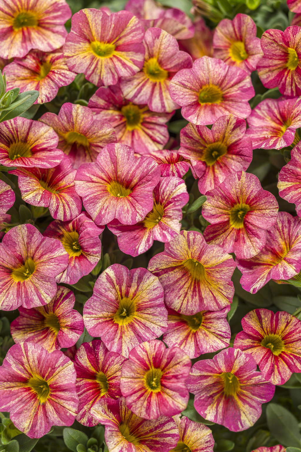 Superbells tropical sunrise calibrachoa hybrid proven - Calibrachoa superbells ...