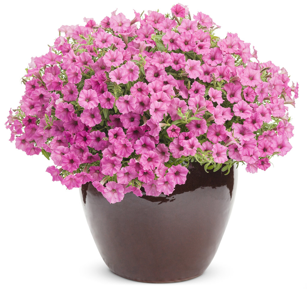 Supertunia® Hot Pink Charm - Petunia hybrid   Proven Winners