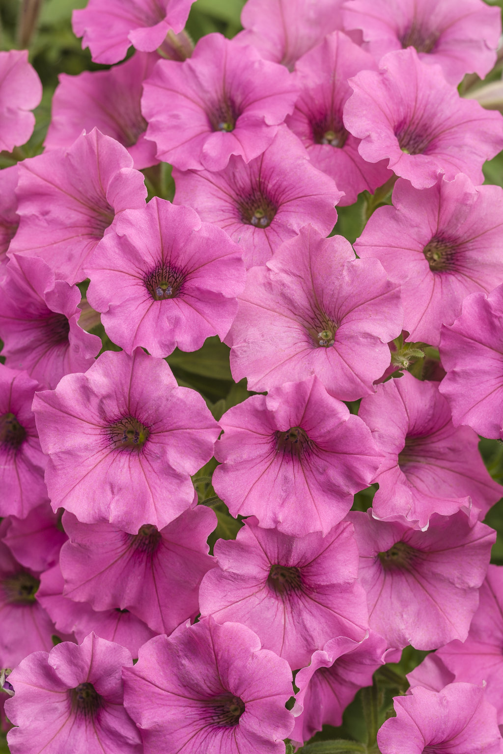 Supertunia® Hot Pink Charm - Petunia hybrid | Proven Winners