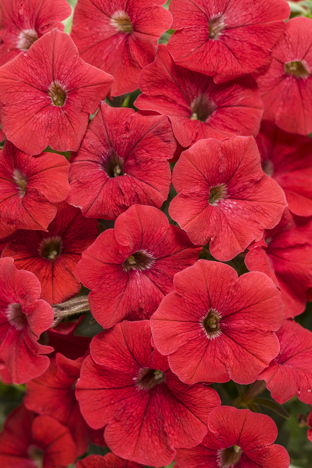 Supertunia® Really Red - Petunia hybrid | Proven Winners