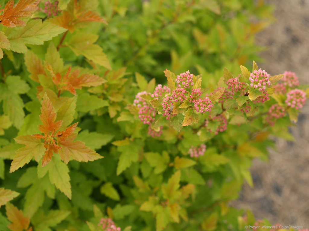 Tiny Wine 174 Gold Ninebark Physocarpus Opulifolius