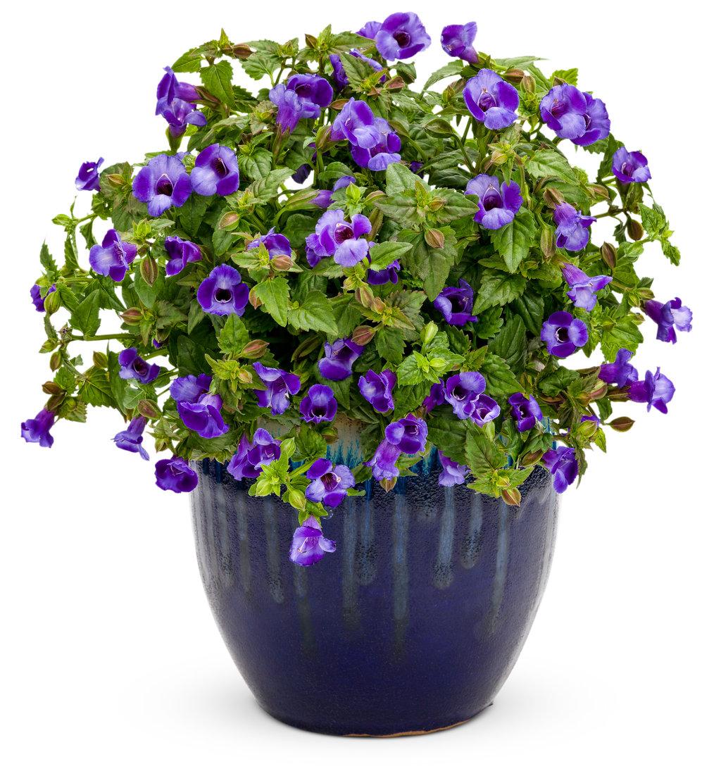Торения цветок
