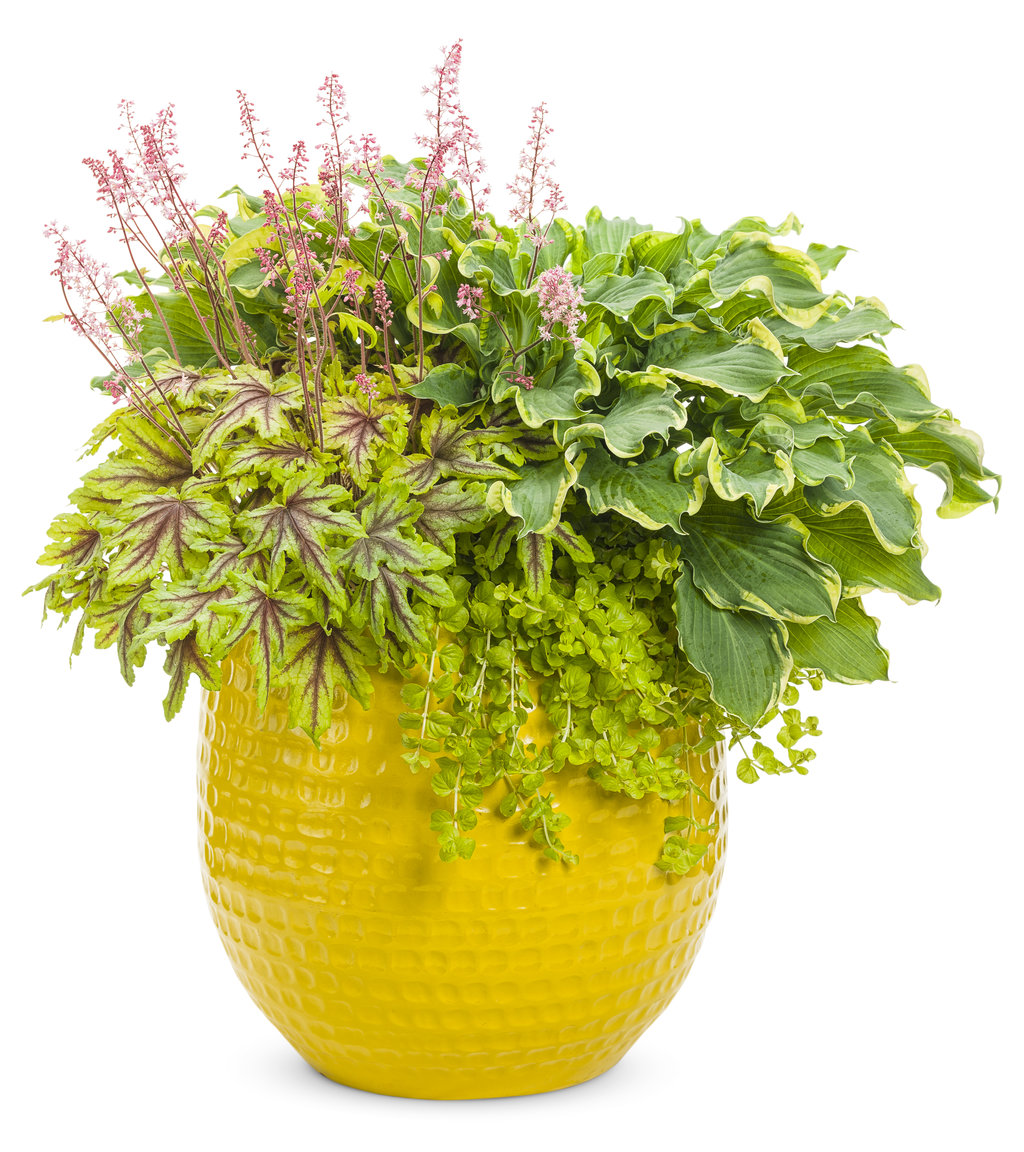 Which Plant Was Native To The New World: Lysimachia Nummularia