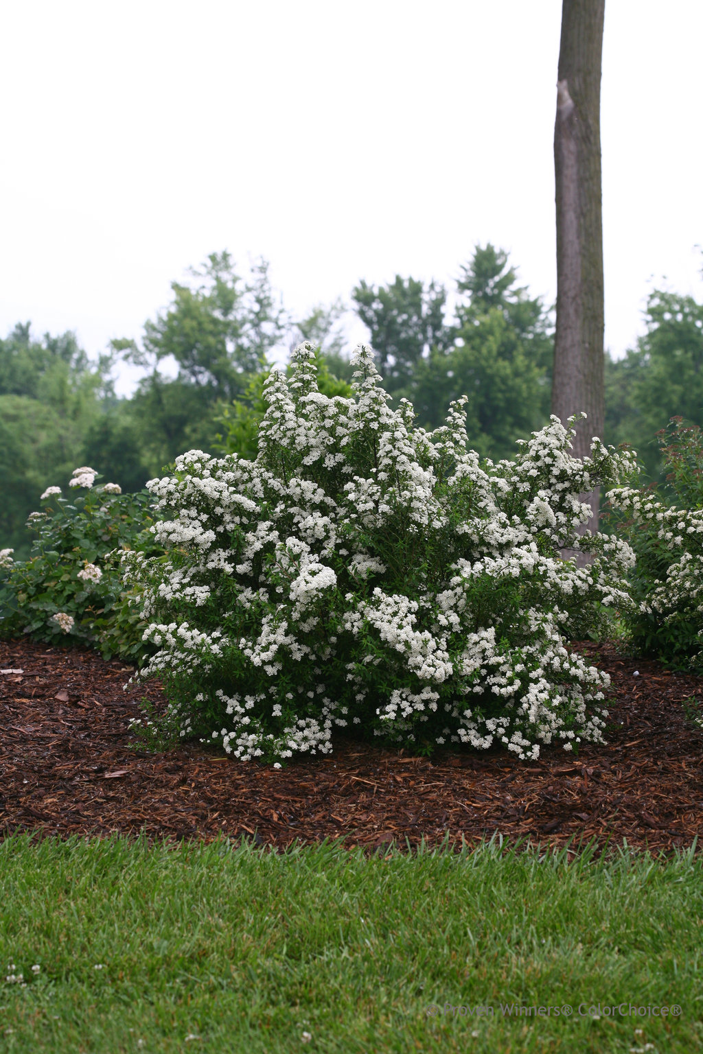 growing conditions for wedding cake tree wedding cake 174 spirea spiraea nipponica proven winners 15007