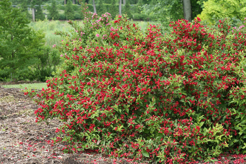 Sonic Bloom 174 Red Reblooming Weigela Weigela Florida