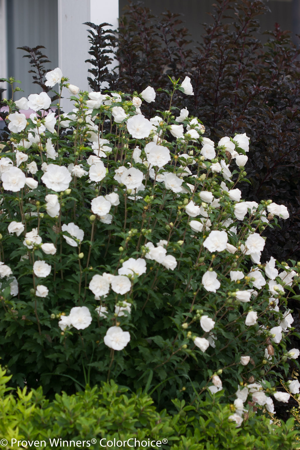White Chiffon® - Rose of Sharon - Hibiscus syriacus | Proven Winners