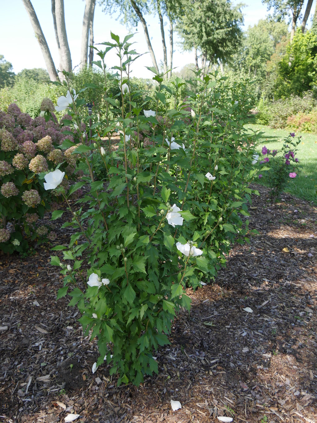 White Pillar® - Rose of Sharon - Hibiscus syriacus | Proven Winners