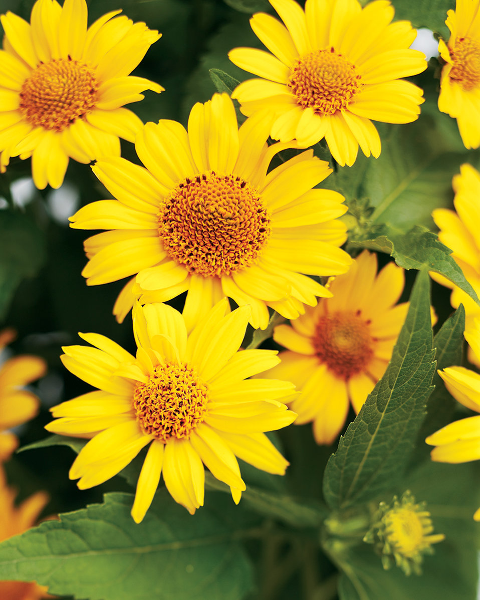 Tuscan sun perennial sunflower heliopsis helianthoides proven zoom izmirmasajfo Gallery
