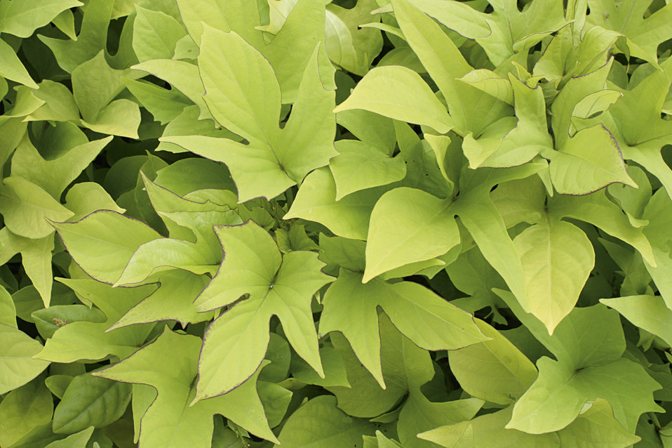 Sweet Caroline Light Green Sweet Potato Vine Ipomoea