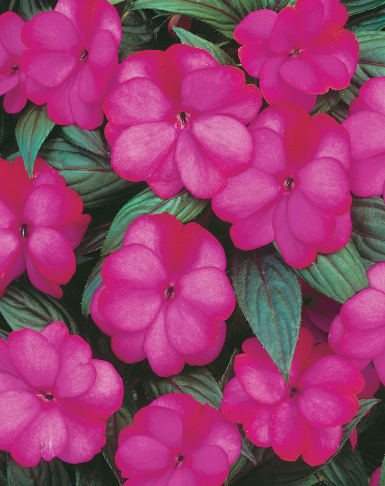 Infinity blushing lilac new guinea impatiens for New guinea impatiens