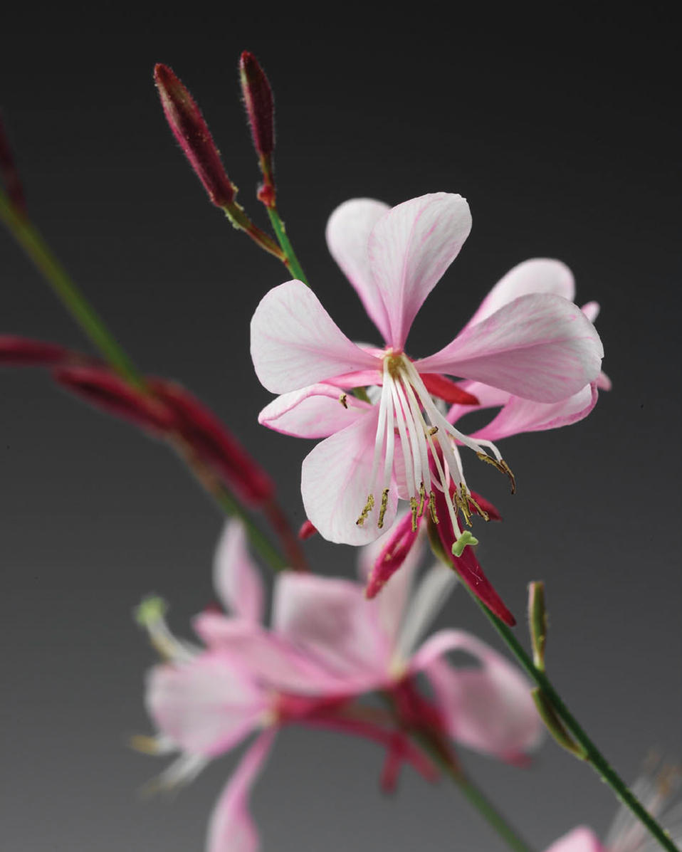 Stratosphere pink picotee butterfly flower gaura for Butterfly on flowers