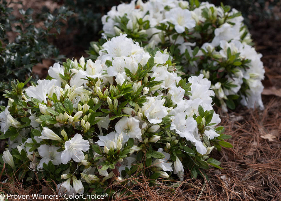 Bloom a thon white reblooming azalea rhododendron x proven zoom mightylinksfo Images